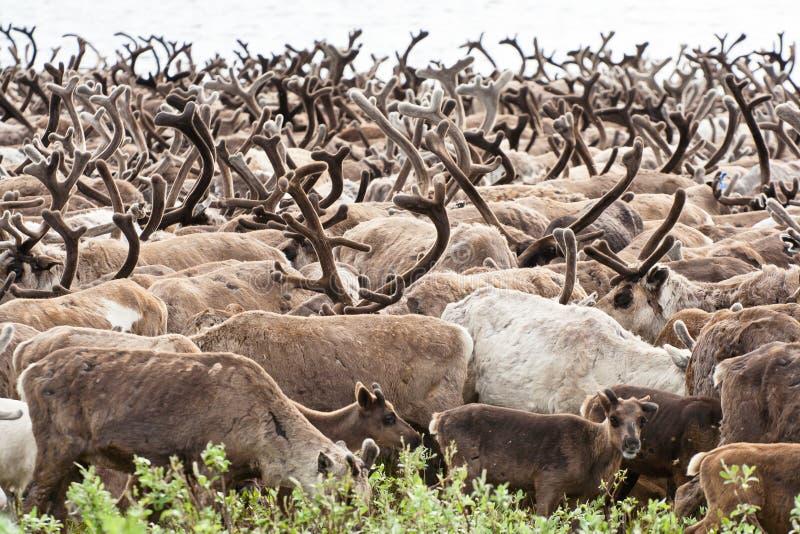 牧群驯鹿 库存照片