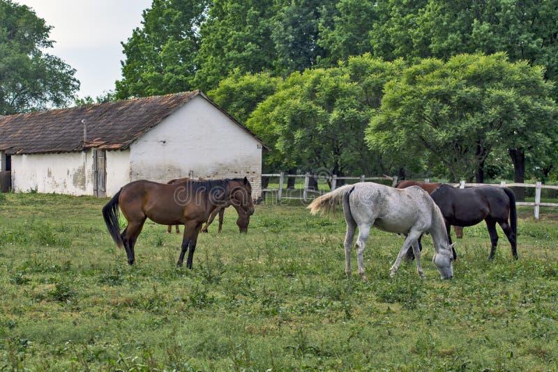 牧马 免版税库存图片