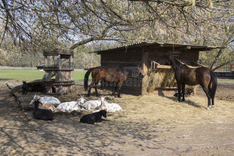 牲口一起花费放松的时间的,马和山羊春天 免版税库存图片