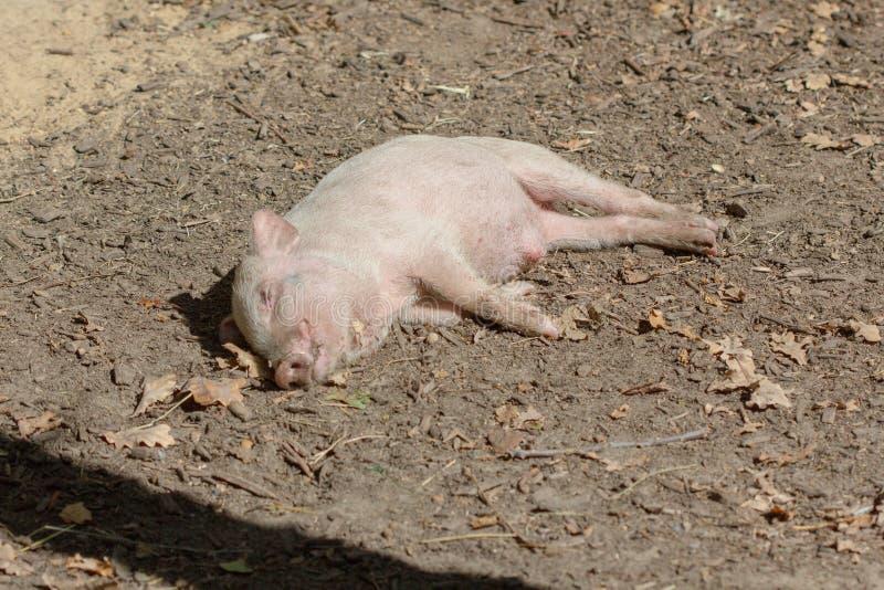 牲口小猪年轻国内,农村的猪 免版税库存照片