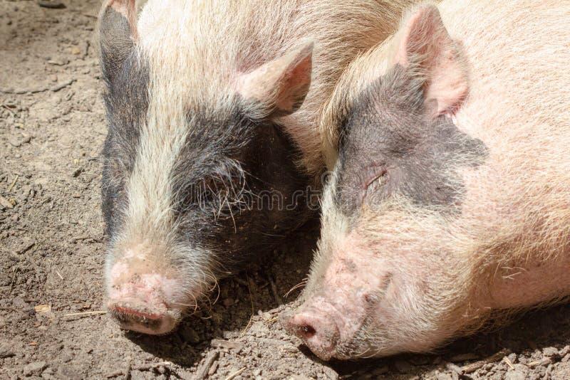牲口小猪年轻国内,婴孩 免版税图库摄影