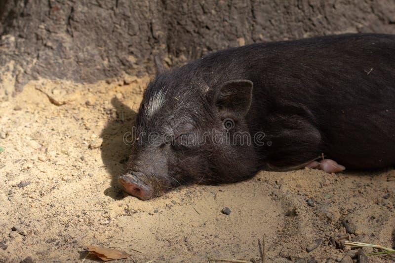 牲口小猪年轻国内,肉 库存图片