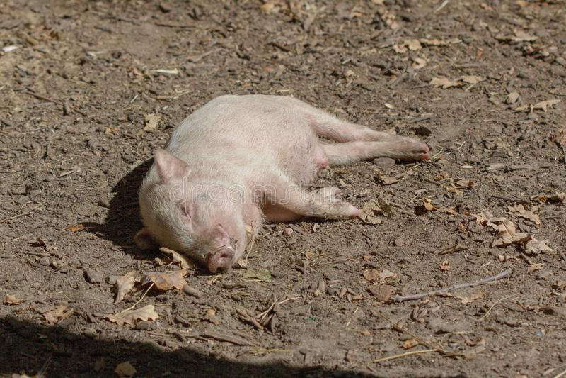 牲口小猪年轻国内,肮脏的猪 库存照片