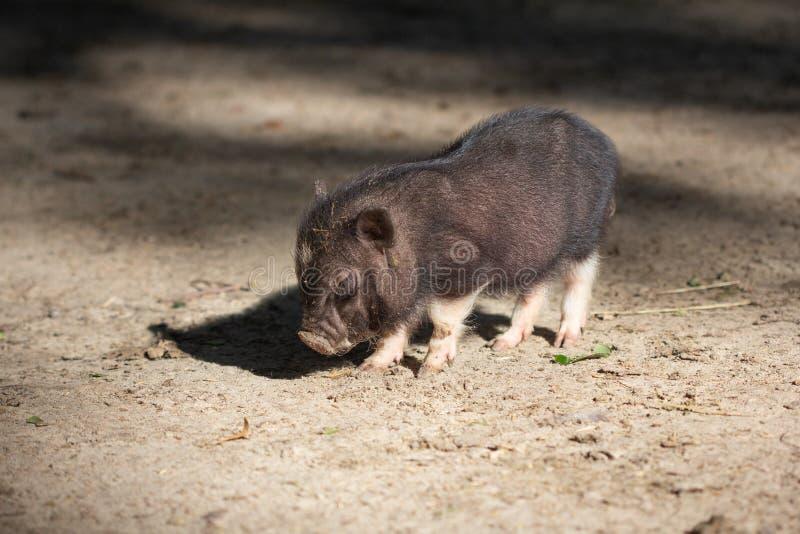 牲口小猪年轻国内,肮脏 库存照片