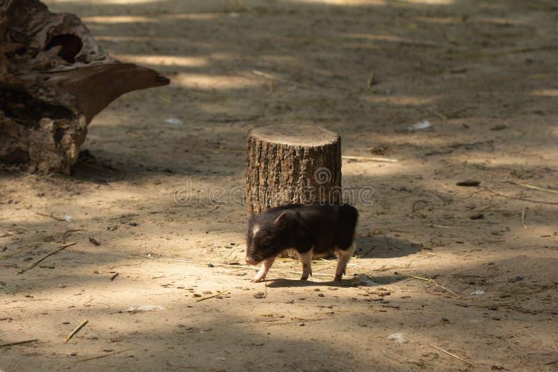 牲口小猪年轻国内,领域 库存照片