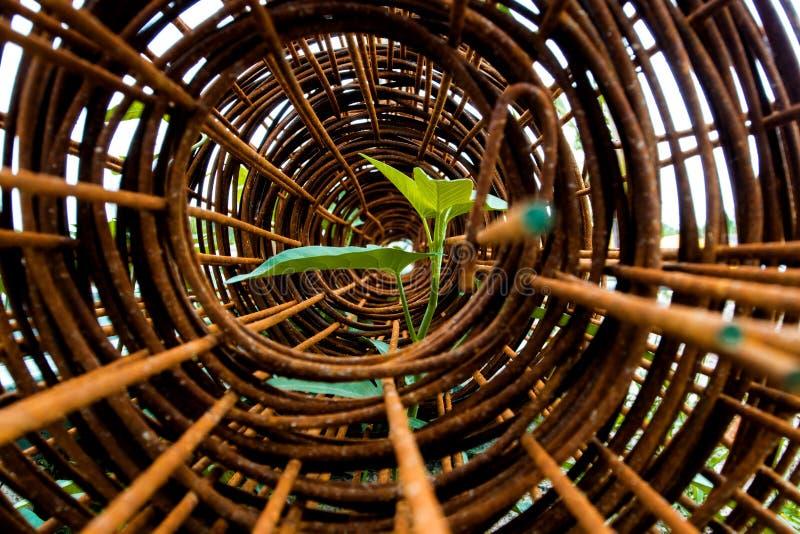 牵牛花插入物叶子在生锈的钢绳滤网卷的  库存图片