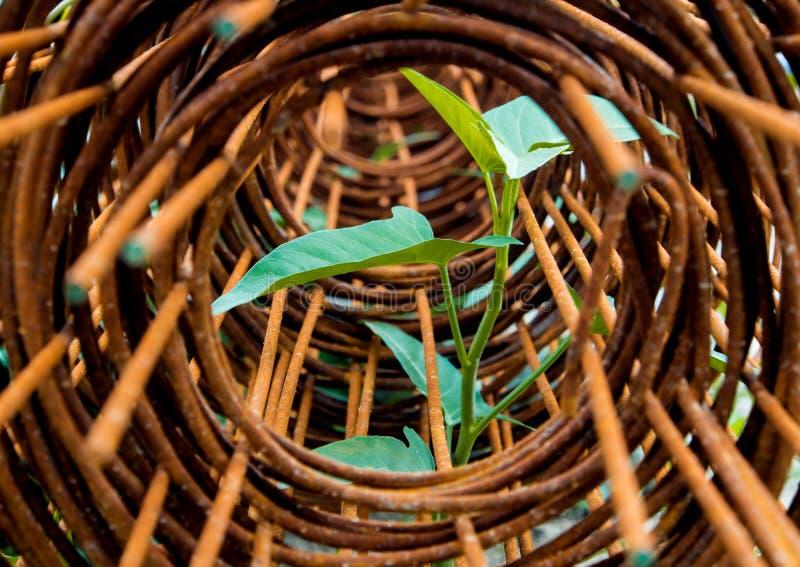 牵牛花插入物叶子在生锈的钢绳滤网卷的  库存照片