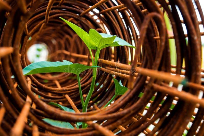 牵牛花插入物叶子在生锈的钢绳滤网卷的  免版税库存图片