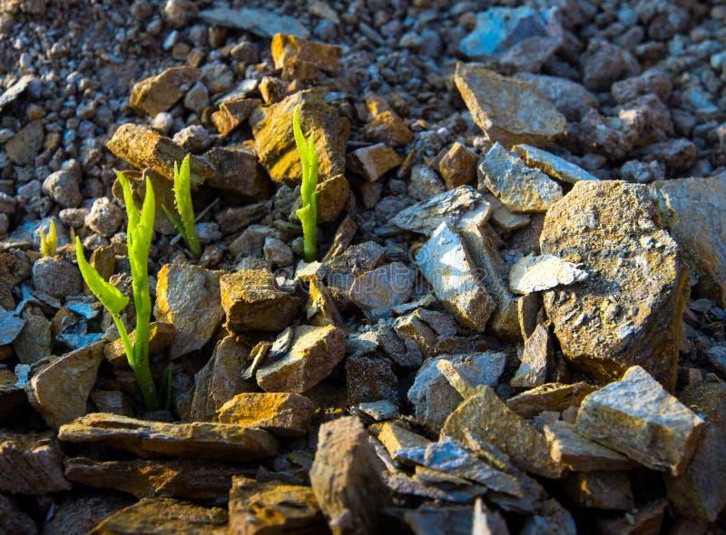 牵牛花新芽的芽岩石土墩的 免版税图库摄影