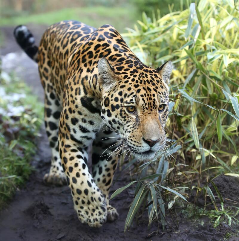 特写一幅美洲虎的步行图 图库摄影