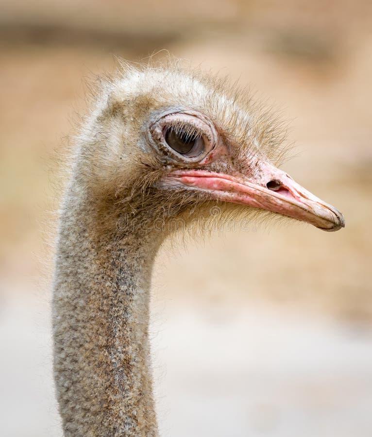 特写镜头一只驼鸟的边照片与长的脖子的 免版税库存照片