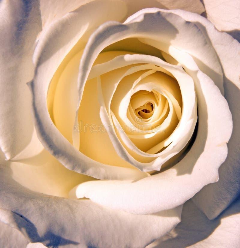 特写镜头一白色玫瑰 库存照片