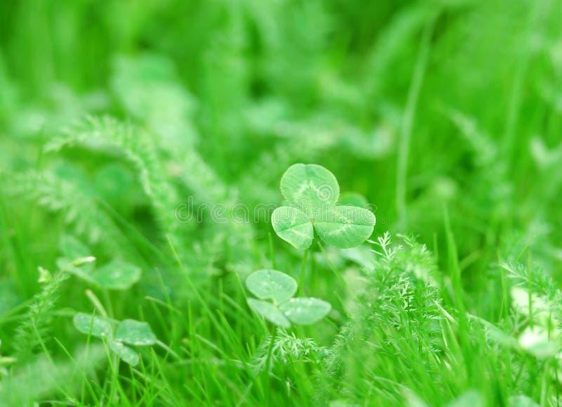 特写镜头三叶草绿色照片 库存图片