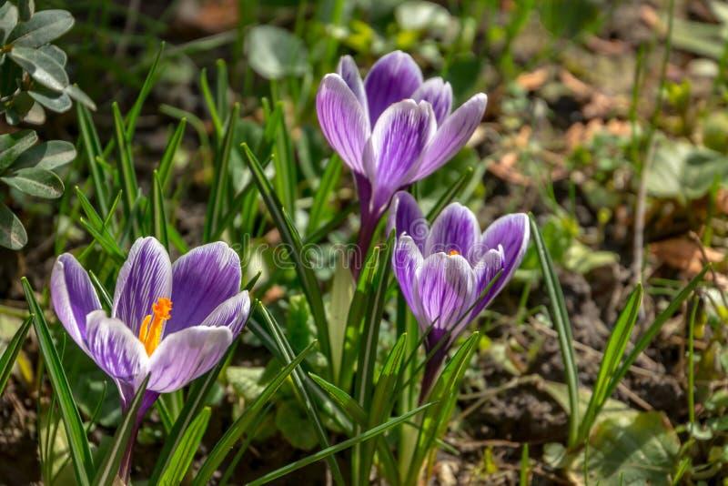 特写镜头三镶边了紫色番红花国王镶边在明亮的春天太阳 与绿色庭院的被弄脏的背景 库存图片