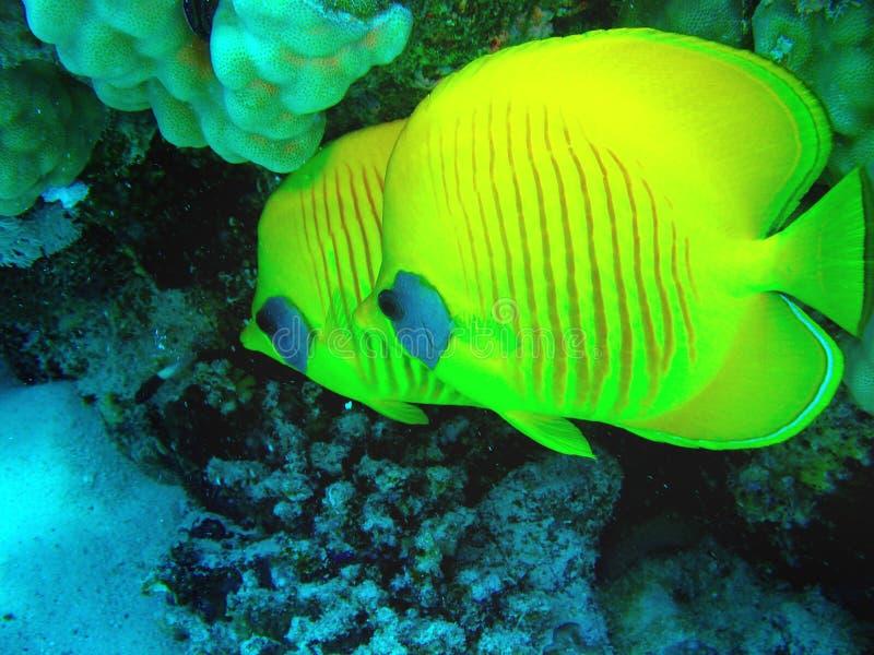 特写镜头两蝴蝶鱼野生生物照片在珊瑚礁的 库存图片