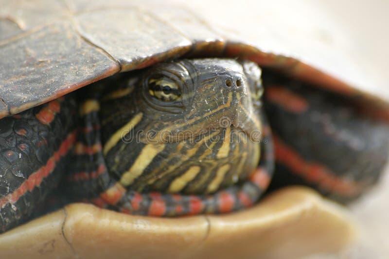 特写镜头乌龟 库存照片