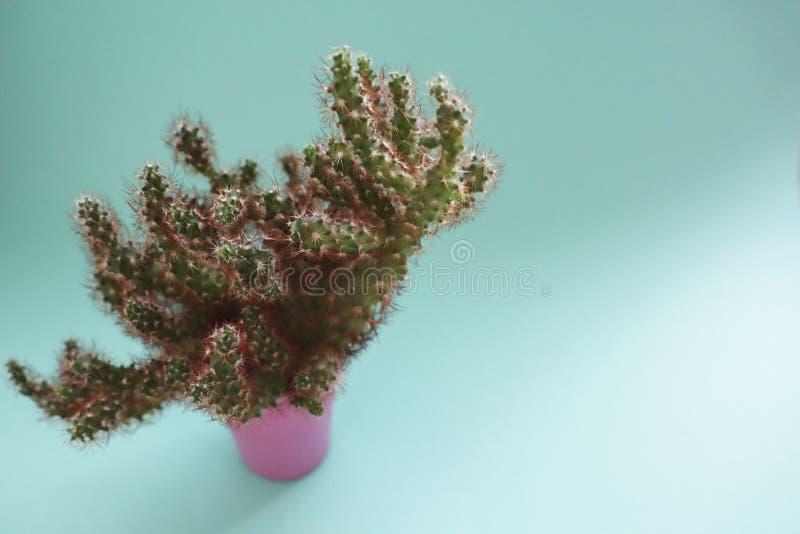 特写镜头仙人掌在桃红色罐的正面图在薄荷的背景 免版税图库摄影