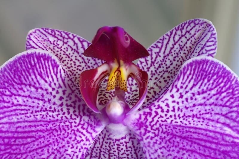 特写镜头兰花紫色 免版税库存照片