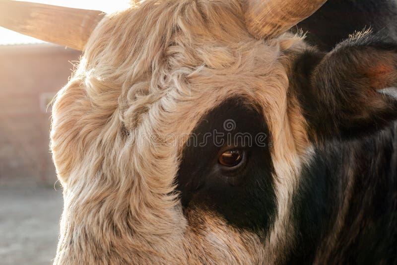 特写镜头卷曲黑白公牛或母牛头在奶牛场围场日落的 免版税图库摄影