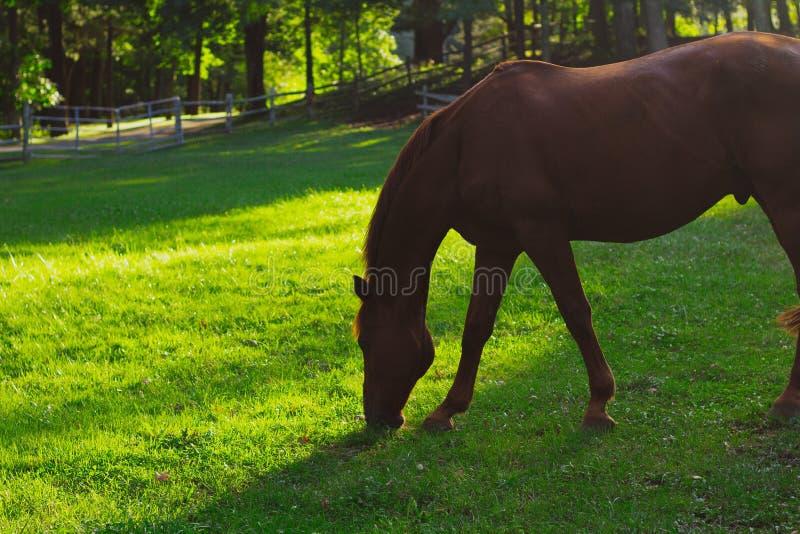 特写镜头吃草有被弄脏的自然本底的被射击一匹美丽的马 库存照片