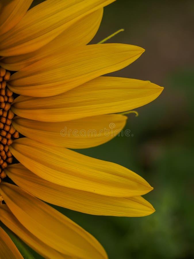 特写镜头向日葵的某一部分 免版税库存照片
