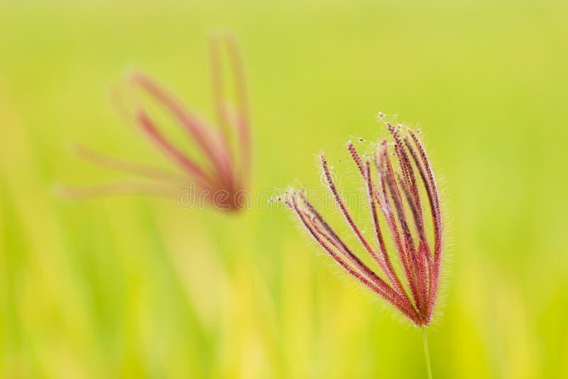 特写镜头圆鼓的手指草在绿色自然背景中 免版税库存照片