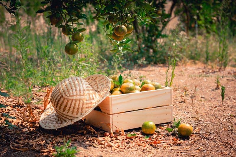 特写镜头在一个篮子的桔子与在有机农场,农业学家职业,农业和收获概念的草帽 免版税库存图片
