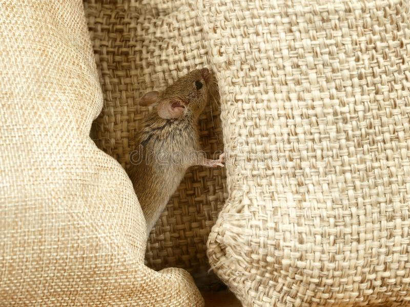 特写镜头在大袋之间的田鼠老鼠在仓库里 库存照片
