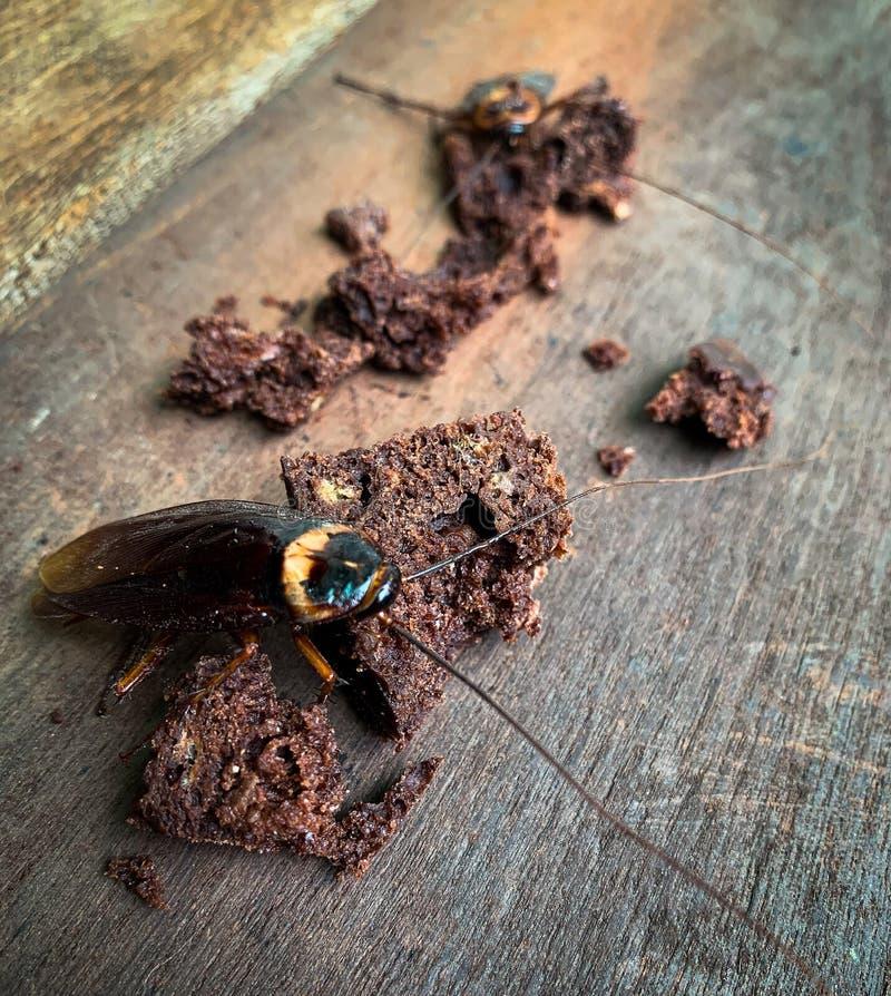 特写镜头在木地板上的许多蟑螂 库存图片