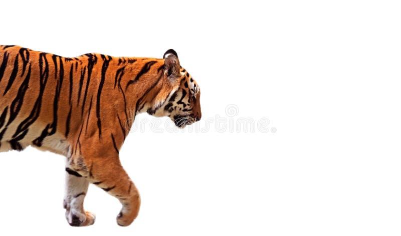 特写镜头在白色背景,裁减路线的孟加拉老虎步行 免版税库存图片