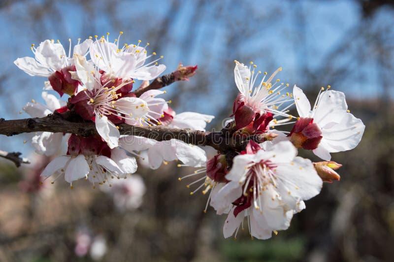 特写镜头在绽放的杏树 免版税库存图片