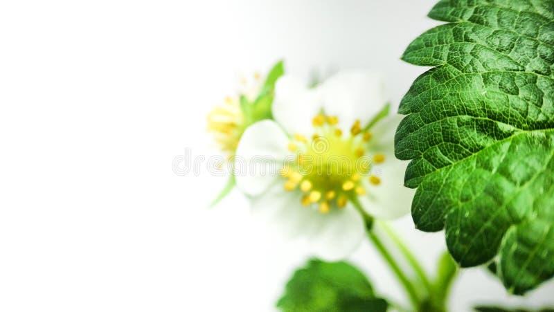 特写镜头在罐的草莓花 未成熟的莓果 在白色背景的宏指令 库存照片