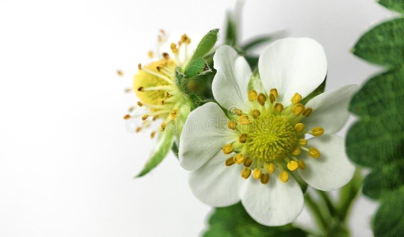 特写镜头在罐的草莓花 未成熟的莓果 在白色背景的宏指令 免版税库存照片