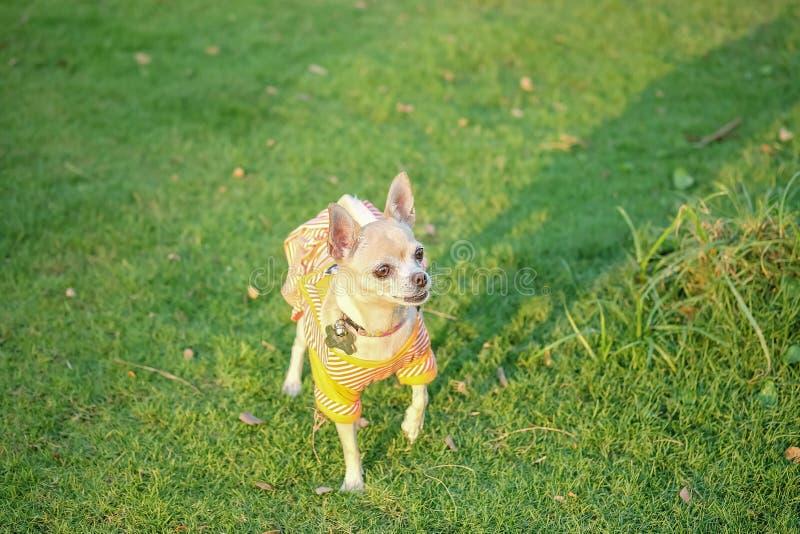 特写镜头在草地板上的奇瓦瓦狗狗在房子织地不很细背景前面 免版税图库摄影