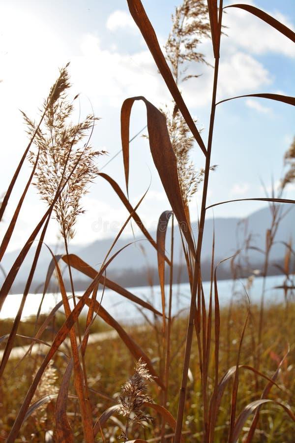 特写镜头在风景湖风景的里德草与日落光 库存图片