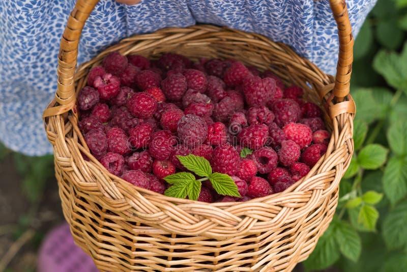 特写镜头夏天红色莓果 拿着篮子的小女孩有很多新鲜的莓 库存图片