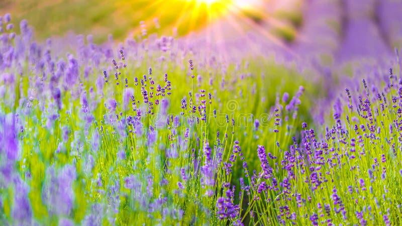 特写镜头夏天花和草甸 在阳光,夏天风景下的淡紫色领域 免版税库存图片