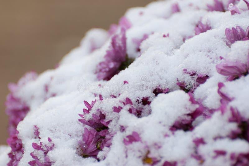 特写镜头多雪的紫色菊花 免版税库存照片