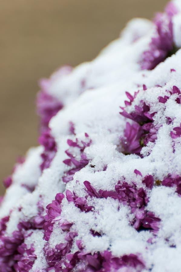 特写镜头多雪的紫色菊花 库存照片