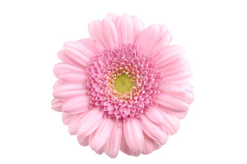 特写镜头大丁草查出的粉红色 库存照片