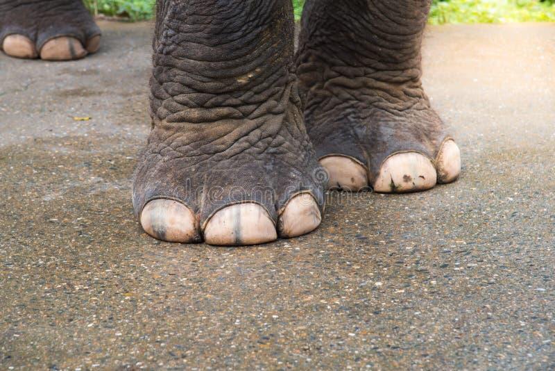 特写镜头大象脚,强的大象脚,大象腿 免版税图库摄影