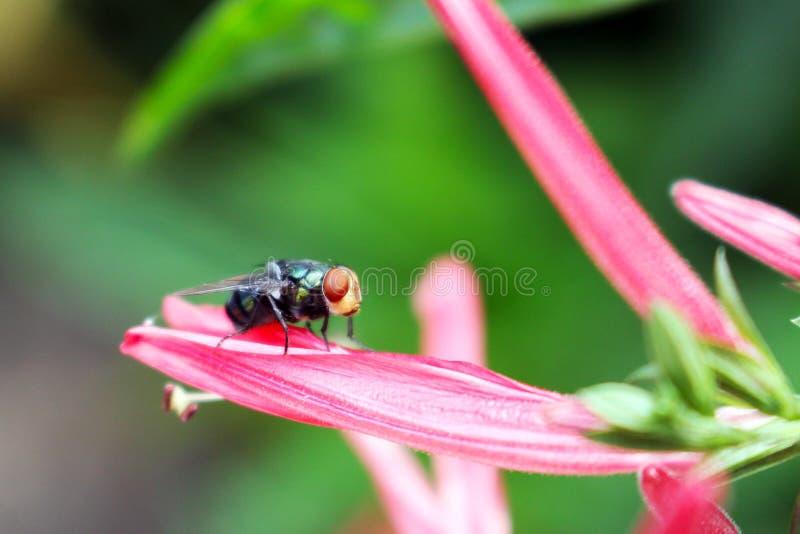 特写镜头宏观观点的家蝇坐一桃红色花瓣 库存照片