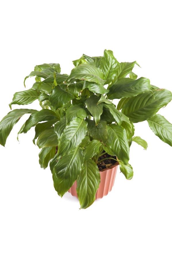 特写镜头室内植物 库存图片