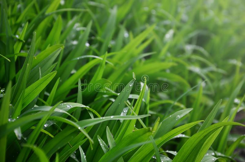 特写镜头射击了与露滴的密集的象草的词根 湿草宏观射击当自然concep的背景图象 库存照片