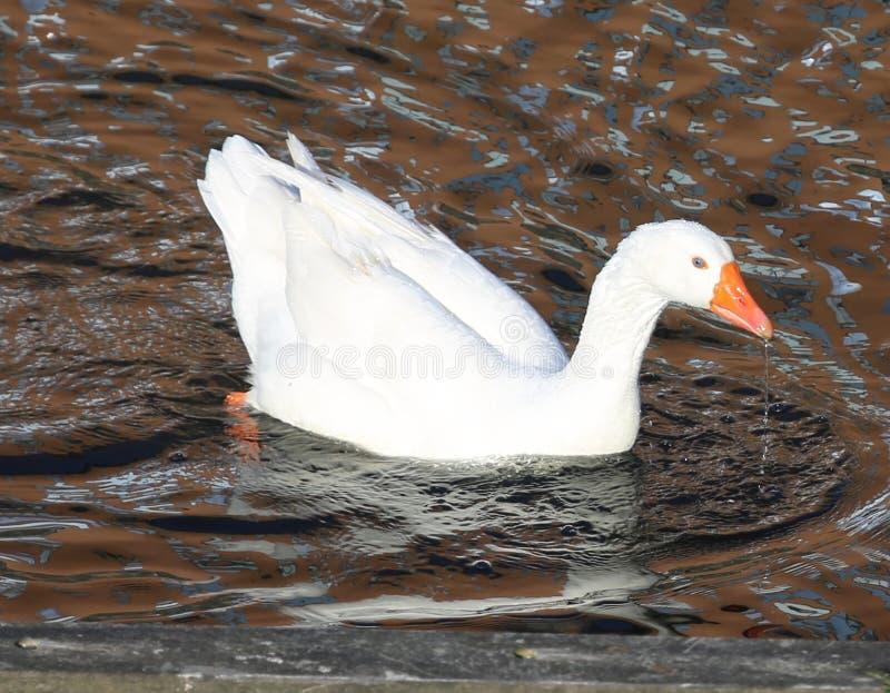 特写镜头射击了在一条运河的一只鸭子在阿姆斯特丹 图库摄影