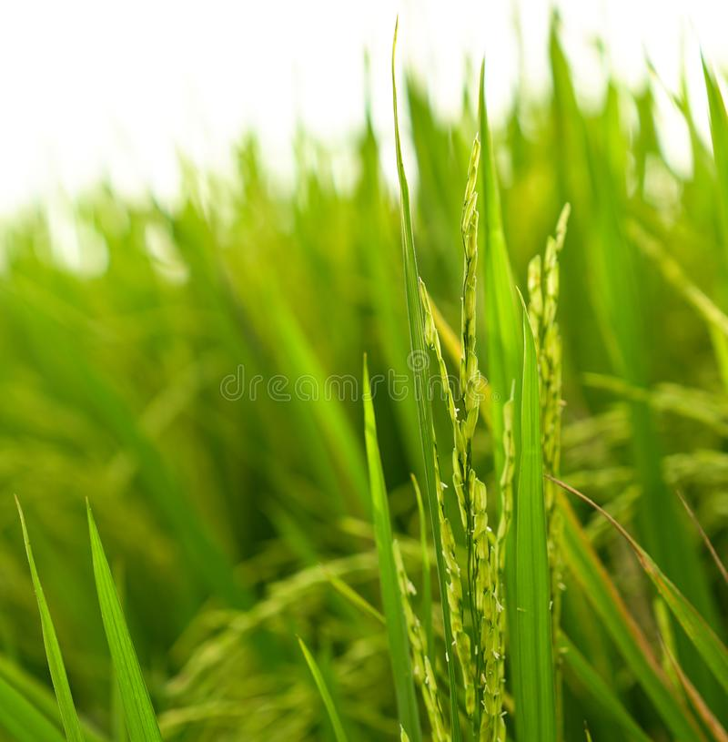 特写镜头射击了新绿色稻田 免版税图库摄影