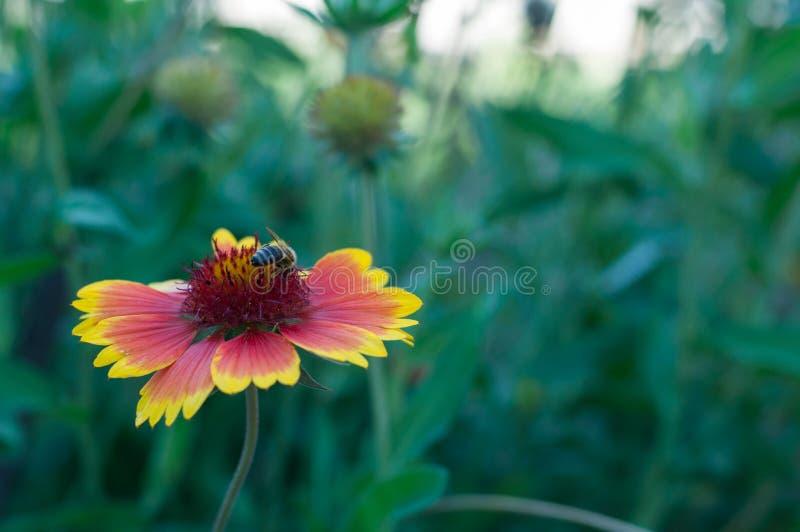 特写镜头射击了蜂在天人菊属植物pulchella花 库存照片