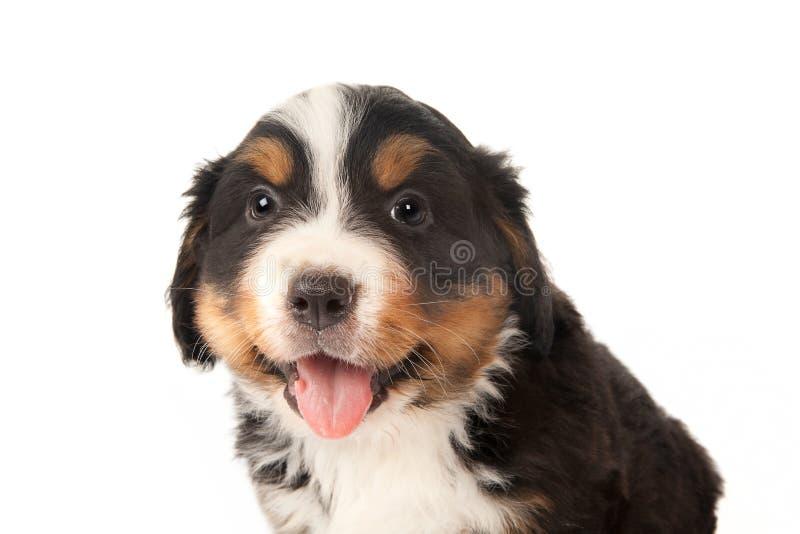 特写镜头小狗 库存图片