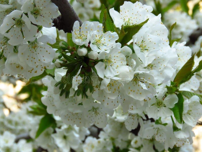 特写镜头开花的开花的洋梨树分支 洋梨树白色开花和绿色叶子 防御cesky遗产krumlov季节春天查看世界 免版税库存图片