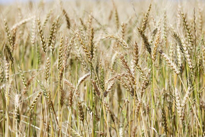 特写镜头成熟茎麦子 免版税库存照片